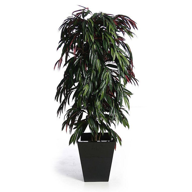 Ficus (Ficus longifolia) Beeld