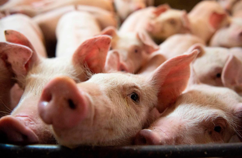 Overduidelijk niet in het plan: het verminderen van de veestapel. Milieuorganisatie Greenpeace liet vandaag al weten dat wat haar betreft de Green Deal hiermee staat of valt. Beeld AFP