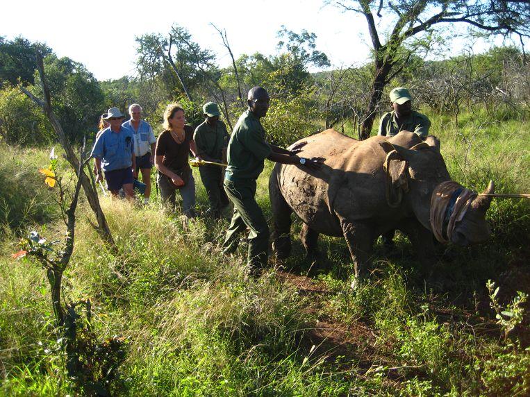 Wandelen met neushoorns, heet dit. Dierenarts Martine van Zijll Langhout (m) begeleidt met rangers in Zuid-Afrika een verdoofde neushoorn naar een container voor transport. Beeld Brent Sirton