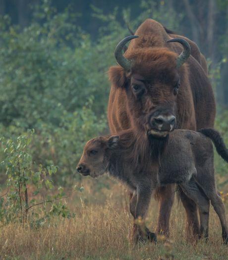 Fotowedstrijd: heel veel wisenten, een enkele tauros en zelfs een Schotse hooglander
