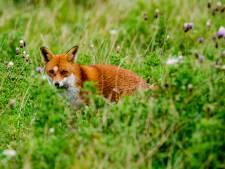 Provincie geeft toestemming tot nachtelijk afschieten vossen