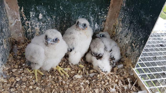 De drie jonge valken in 2018. Eentje zit nu de eieren van zijn vader uit te broeden.
