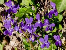 De boomspiegel is vijandig gebied voor veel bloemen, behalve het maarts viooltje