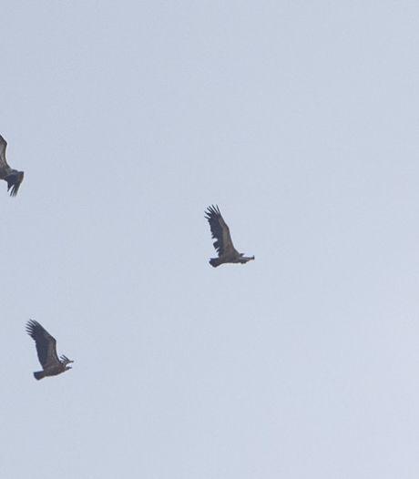 Zeldzaam zicht: 30-tal vale gieren boven Gent-centrum