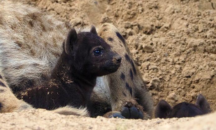 Hyenapups in de Beekse Bergen.