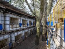 Eigenaar (44) na politie-inval in Laag Zuthem: 'Illegale hanengevechten? Dit zijn mijn hobbykippetjes!'