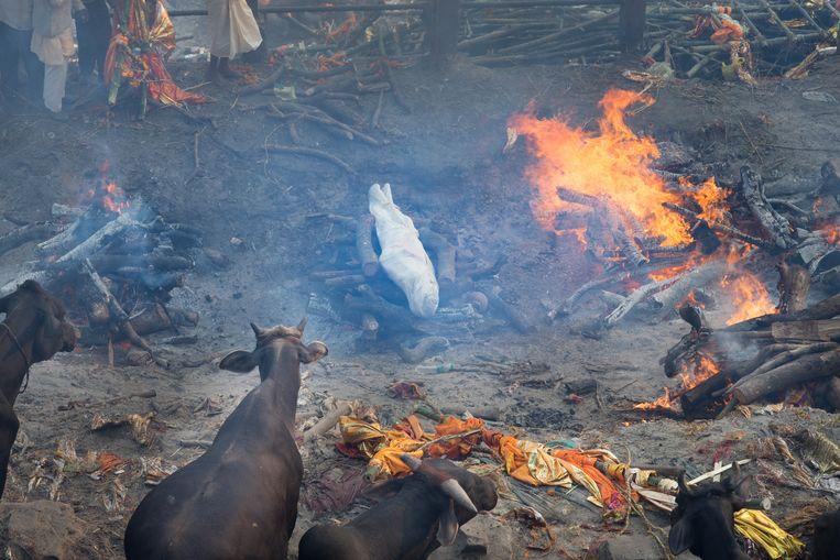 Een rituele verbranding in India. De koeien kijken toe. Beeld ©Lieve Blancquaert