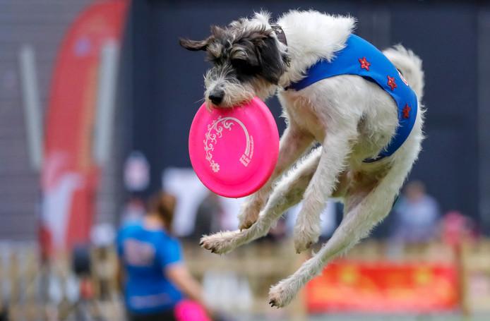 Een hond vangt een frisbee op tijdens de internationale bijeenkomst van rashonden in het Duitse Offenburg. Foto Ronald Wittek