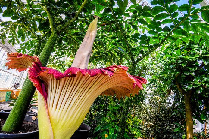 Reuzenaronskelk in Plantentuin Meise - voorgaand exemplaar