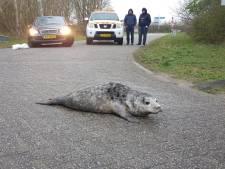 Zeehond heeft 'kolder in de kop'; reddingsteam helpt het dier van parkeerplaats naar zee