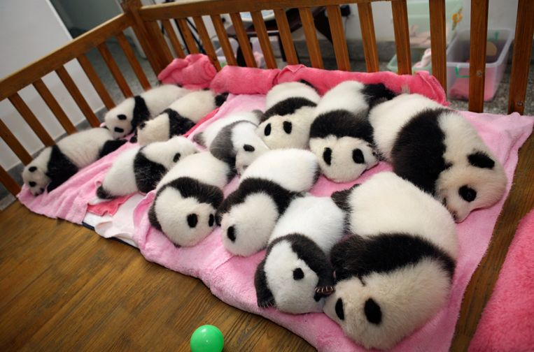 Giant panda cubs lie in a crib at Chengdu Research Base of Giant Panda Breeding in Chengdu, Sichuan province September 26, 2011. Picture taken September 26, 2011. REUTERS/China Daily (CHINA - Tags: ANIMALS TPX IMAGES OF THE DAY) CHINA OUT. NO COMMERCIAL OR EDITORIAL SALES IN CHINA Beeld REUTERS