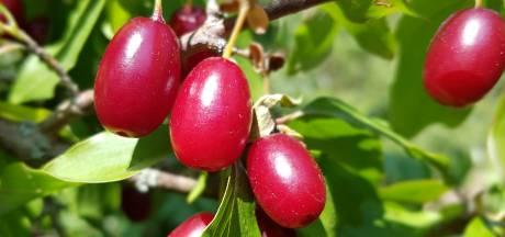 Van deze vergeten vruchten in de tuin kun je sap en jam maken