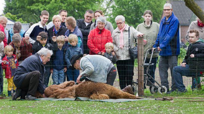Foto ter illustratie. Cliënten van Zozijn hebben een dagbesteding op zorgboerderij Thushoeve in Zevenaar waar een alpaca wordt geschoren.