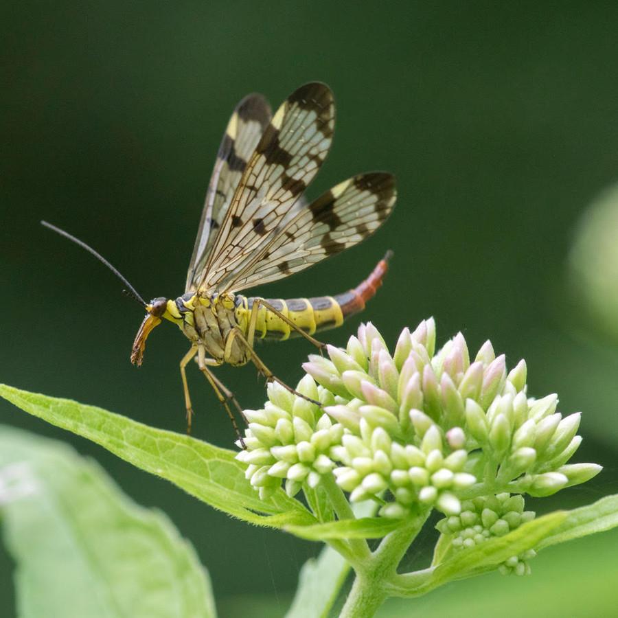Een schorpioenvlieg, een van de vele insecten die in het jubileumboek staan.