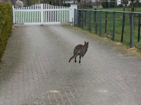 Wallaby springt vrijheid tegemoet in Hattem