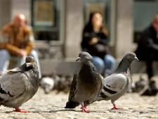 Het plan is anticonceptie in het voer van duiven te doen. Als het werkt, ben ik bang dat deze gang van zaken elders wordt overgenomen