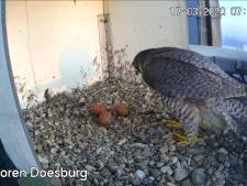 Derde ei voor slechtvalken Doesburg: 'Uitvliegen altijd spektakel'