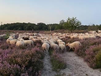 270 schapen grazen aan natuurgebied Kerkeheide