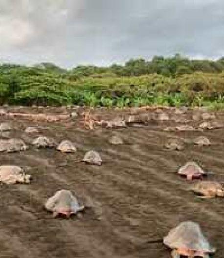 L'impressionnante nidification de centaines de tortues de mer