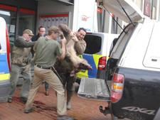 Agressieve zwijnen vallen mensen aan in Duits stadje