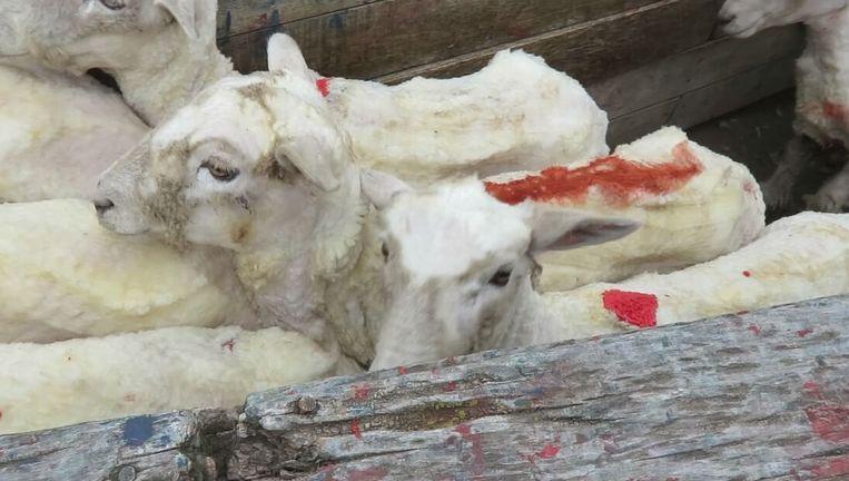 Schapen op een van de fokkerijen in Chili waarvan PETA beelden bemachtigde. Beeld PETA