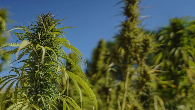 'Tuinier' krijgt dertig maanden cel voor cannabisplantage