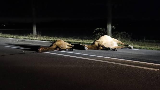 Tragisch ongeval op N264: drie losgebroken pony's dood na aanrijding