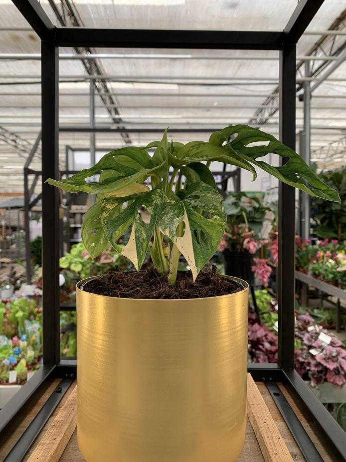 """La monstera adansonii variegata mesure environ 15 centimètres de haut et est une variante très rare de la monstera adansonii """"normale"""", une plante d'intérieur avec des trous dans ses feuilles, également connue sous le nom de """"masque de singe."""""""