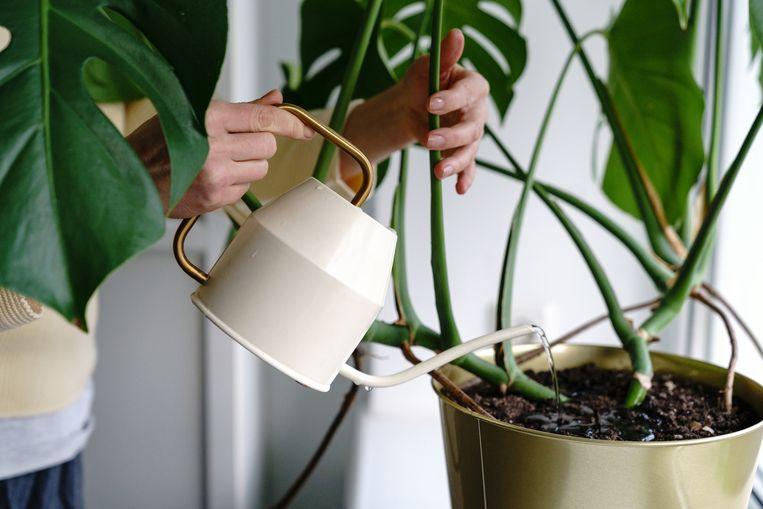 plant te veel water geven Beeld Getty Images/EyeEm