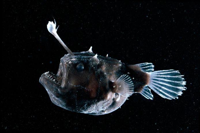 Ce poisson-football découvert vendredi est connu pour être une femelle, car seule la baudroie possède une longue tige sur la tête avec une pointe bioluminescente, qui est utilisée pour attirer les proies dans l'obscurité.