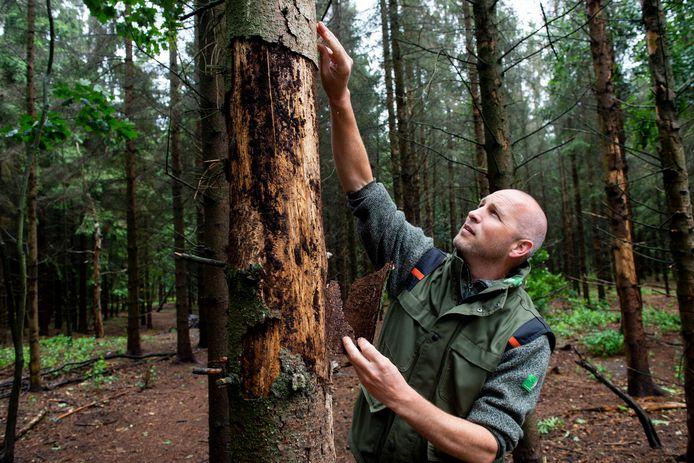 Laurens Jansen, boswachter bij Staatsbosbeheer, laat de gevolgen zien die de droogte de afgelopen twee jaar op de Veluwse bossen heeft gehad. Verzwakte naaldbomen kregen er flink van langs van verschillende soorten schorskevers.