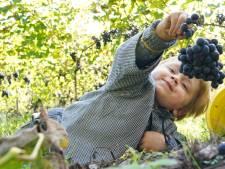 Plukken geblazen! In deze Nijkerkse wijngaard worden momenteel duizenden kilo's aan druiven geplukt