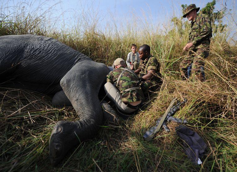 Een verdoofde olifant in het Garamba-park in Congo wordt uitgerust met een zender.  Beeld AFP