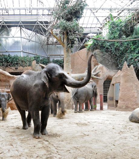 Olifanten in Blijdorp moesten wennen aan zacht 'zandbedje'