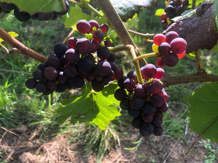 Martin Bacquaert van Entre-Deux-Monts is tevreden dat hij gastheer was van de wijnproeverij. Alles stond opgesteld tussen de druivenranken.