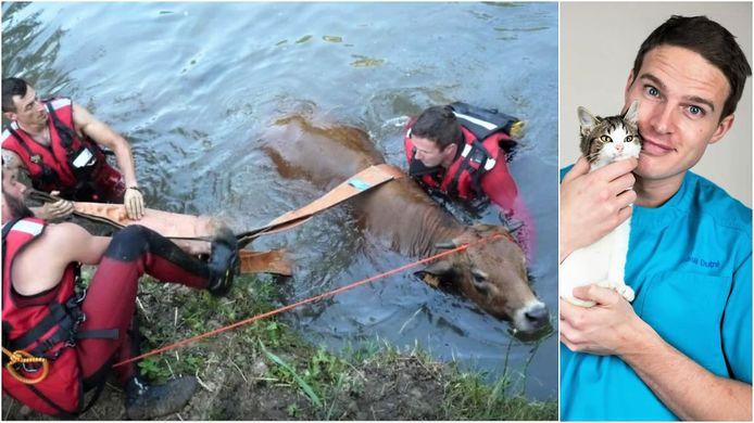 Links een koe die uit een rivier in de Ardennen gered wordt. Rechts dierenarts Joshua Dutré