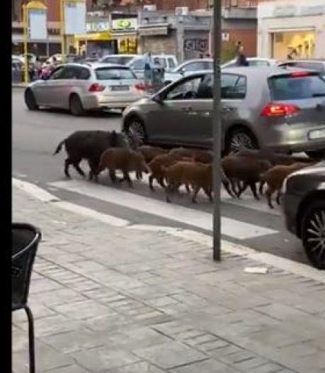 """La """"présence massive et incontrôlée"""" de sangliers dans les rues de Rome sème le trouble"""