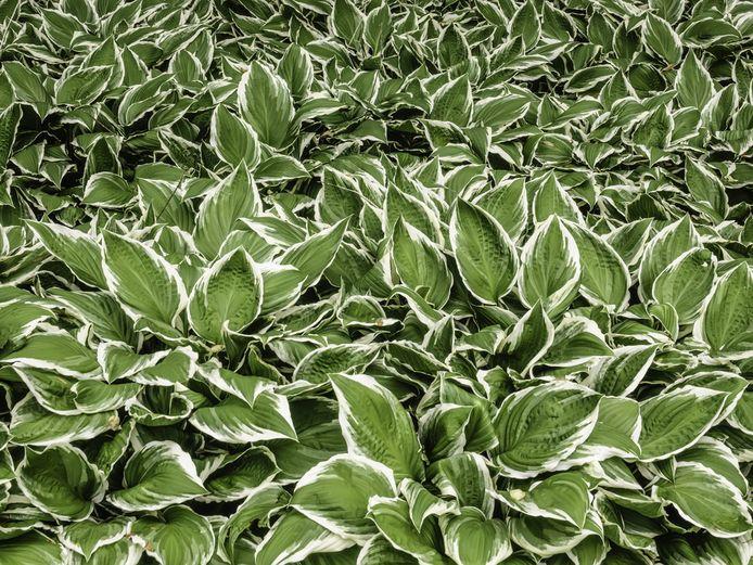 Ook struiken slaan in oktober prima aan. Mooi in de tuin én op de foto: de hosta.