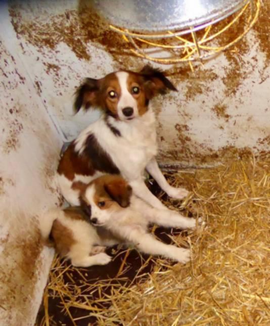 Het hondje 'Lydia' zoals het vorige week woensdag door de Dierenbescherming werd gevonden in een schuur.