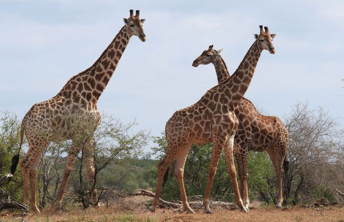 In Kenia lopen nog bijna 29.000 giraffen rond.