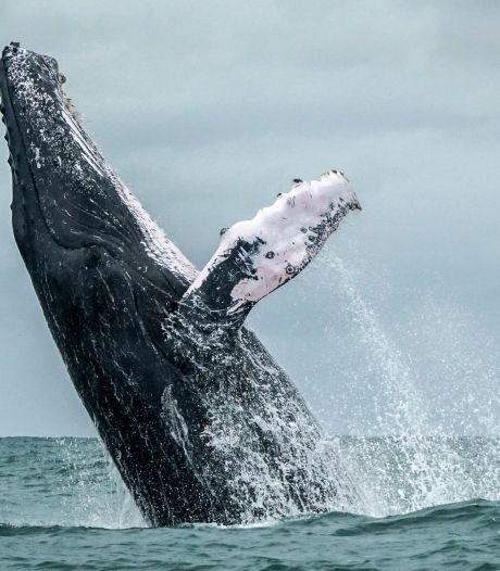 Alarm om uitsterven walvissen en dolfijnen, honderden wetenschappers eisen actie