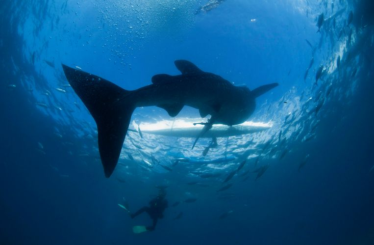 A scuba diver swims near a whale shark as it approaches a paddleboat off the beach of Tan-awan, Oslob, in the southern Philippines island of Cebu, March 1 2013. Tan-awan, in the southern Philippines island of Cebu, used to be a sleepy village that never saw tourists unless they were lost or in transit. Yet now they flock there by the hundreds - to swim with whale sharks, the world's largest fish. Whale sharks are lured to the Tan-awan coastline of the Oslob district by fishermen who hand feed them small shrimp, drawing divers and snorkelers to see the highly sought-after animals, known as gentle giants of the sea. But the practice has sparked fierce debate on the internet and among biologists, who decry it as unnatural. Picture taken March 1, 2013. REUTERS/David Loh (PHILIPPINES - Tags: SOCIETY ANIMALS ENVIRONMENT TPX IMAGES OF THE DAY)  ATTENTION EDITORS: PICTURE 16 OF 25 FOR PACKAGE 'THE WHALE SHARK FEEDERS' SEARCH 'WHALE LOH' FOR ALL IMAGES Beeld REUTERS