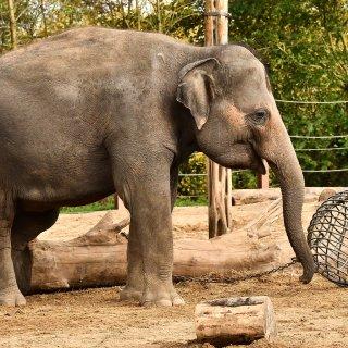 grootste-olifantenkudde-van-europa-breidt--pairi-daiza-verwacht-alweer-babyolifantje