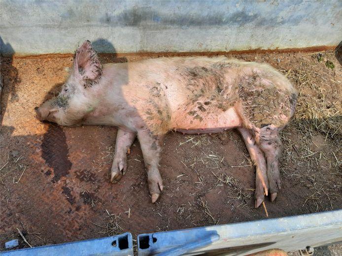 Het loslopend varken werd gevangen en ligt uit te rusten in een trailer..