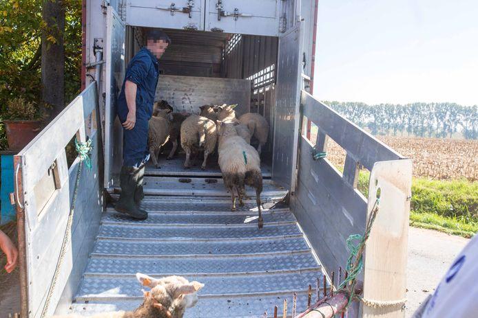 Er werden een zeventigtal schapen in beslag genomen.