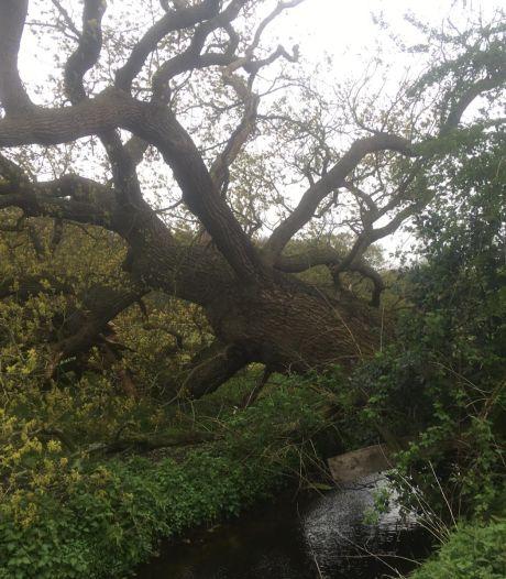250 jaar oude eik omgevallen na stormachtig weer: 'Een van de laatste reuzen van Groenekan'