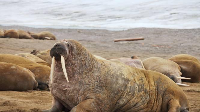 Walrus gaat niet aan de kant voor reddingsboot, bemanning verjaagt dier dan maar met toeter