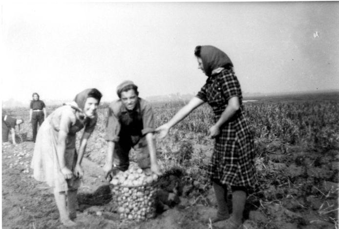 Aardappelen rooien op het land in de Meerpolder rond 1940.