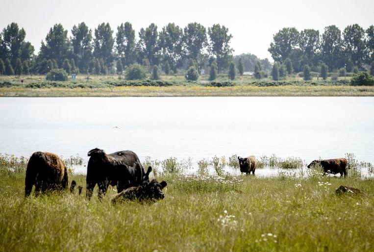 Koeien staan in de ondergelopen uiterwaarden bij de Maas. Omdat de rivier in dit gebied veel ruimte krijgt, komt het water minder hoog en zijn er geen grote problemen.  Beeld ANP