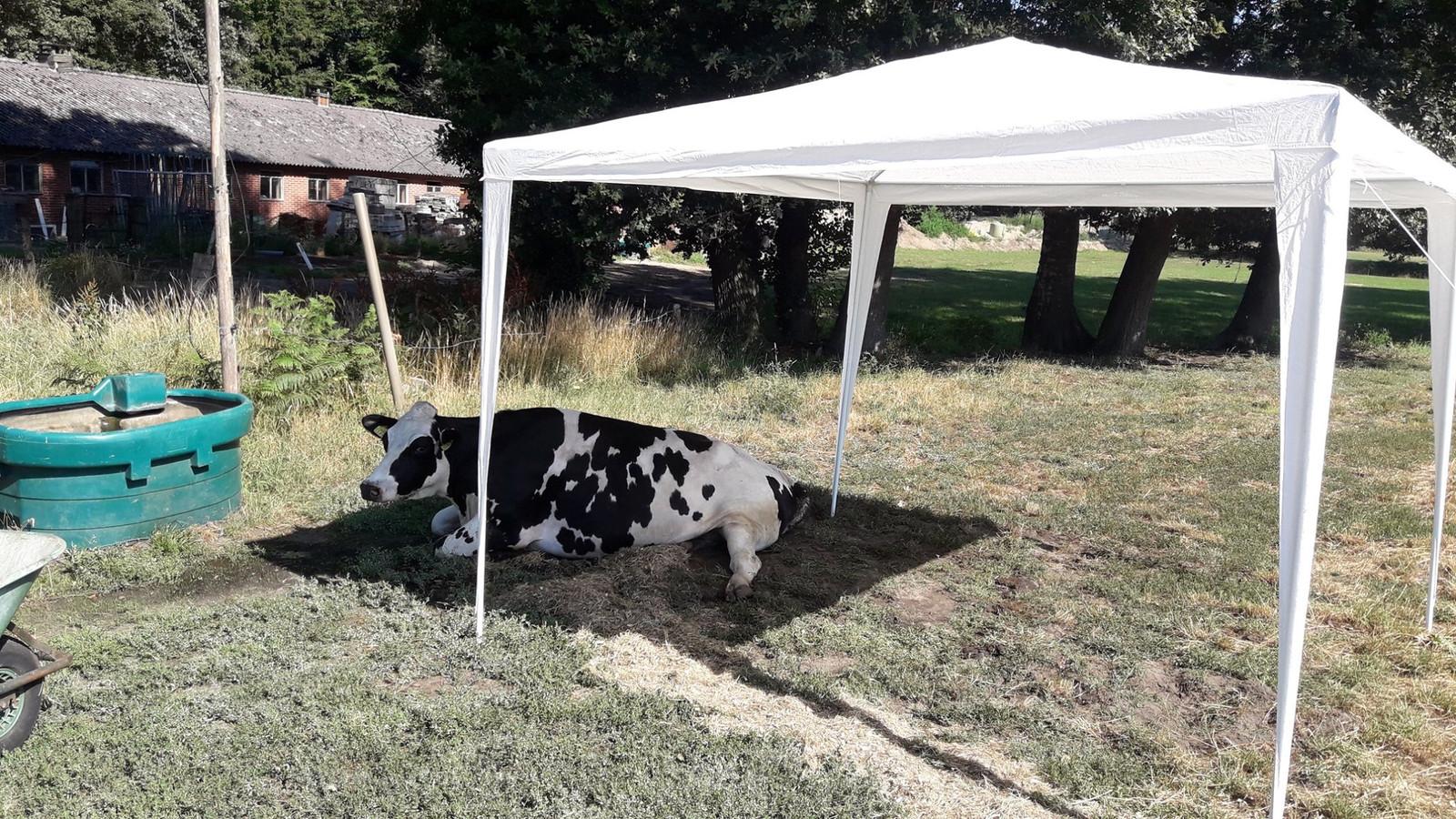 De koe van boer Martin in de schaduw van de partytent.